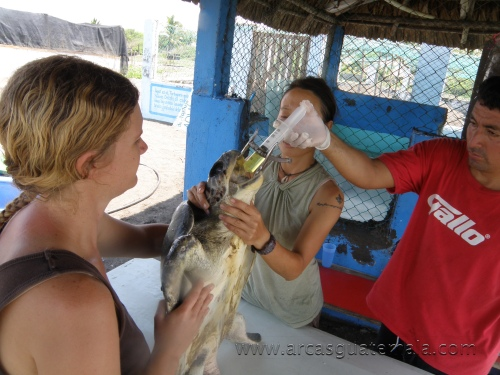 Conservation volunteers force feeding a sick Olive Ridley in an attempt to save its life