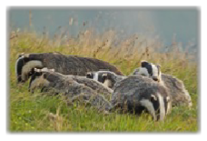 Badger family on open down. Badger watching can be a fantastic experience. Steve Wrightson Image.