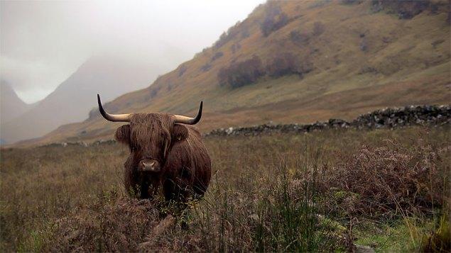 Glencoe Highland Bull