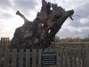 The Mediaeval Oak