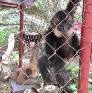 Two Gibbons rescued by ENV's WCR being rehabilitated in Cu Chi by WAR. ENV Photo.