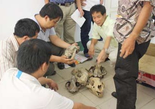 ENV image of officials examining tiger skulls confiscated in 2010