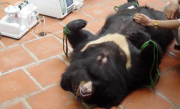 Bile being extracted from a bear's gall bladder. Ha Long Bear Bile Farms sell bile to Korean tourists