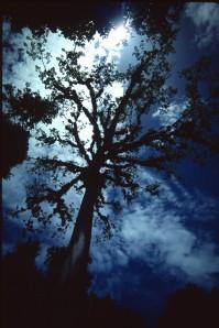 A Kapok tree