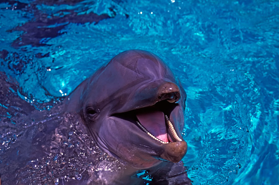 "Portrait of a ""laughing Dolphin"" by Andy Luck"
