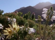 Fynbos wild flowers from short film produced by Andy Luck for BBC Worldwide, Copyright BBC Worldwide 2010