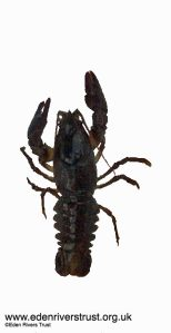 Native White-Clawed Crayfish, Eden Rivers Trust photo.
