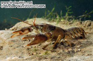 Endangered White-Clawed Crayfish in river bed habitat by Linda Pitkin