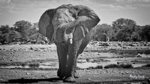 Elephant at waterhole with trunk raised photo by Andy Luck