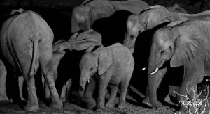 African Elephants are dying in their thousands for the wildlife trade. Photo by Andy Luck