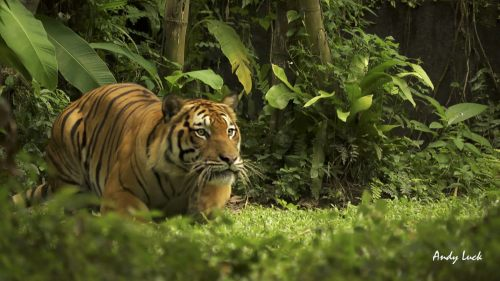 Bengal tiger photographed by Andy Luck, is one species suffering from illegal trade