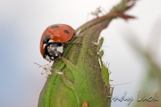 Ladybird and aphids by Andy Luck