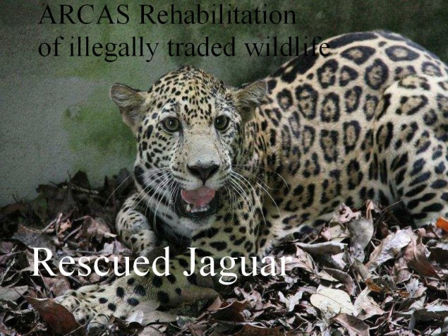 Guatemala, rescued jaguar being rehabilitated by ARCAS