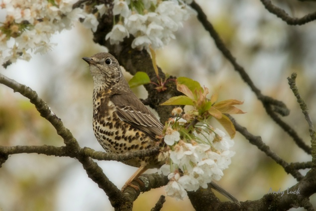 A relative rarity, a Mistle thrush or 'Storm cock' as the old name goes, amongst Cherry blossom in a Surrey garden late April this year.