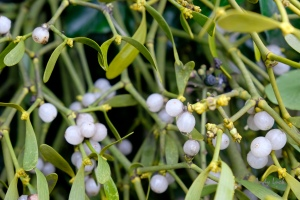 Berries of Mistletoe, the aptly named Mistle thrush's favourite food, rooted in a host tree, probably thanks to a Mistle thrush depositing the seeds there.
