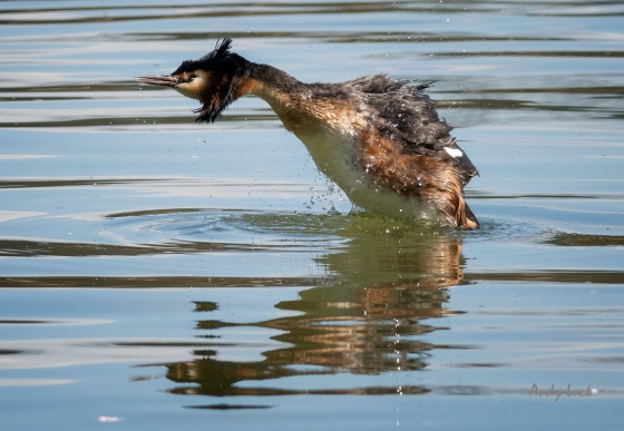 Great Crested Grebe displaying. Grebes often leap in the air while grooming to shake water from their feathers.