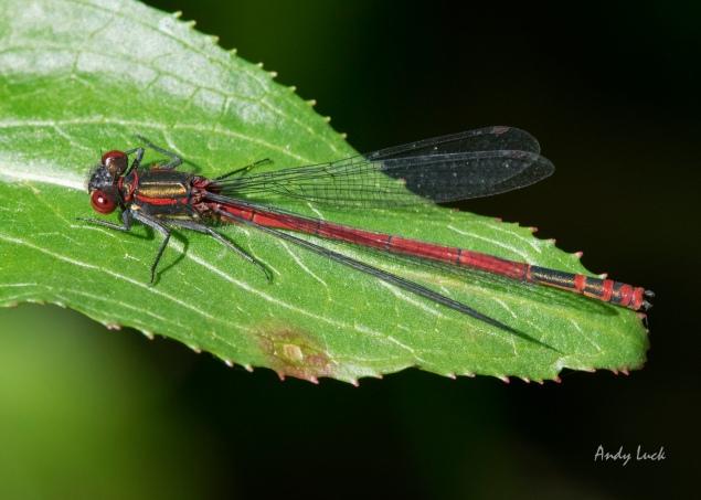 Large red damselfly Pyrrhosoma nymphal. May 2014. Nikon D5300