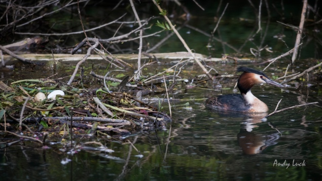 Great Crested Grebe (Podiceps cristatus) close to its nest on the River Thames in late April. The Grebe will spend short  periods away from the nest, but always remain within close reach.
