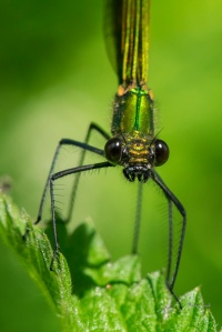 Banded demoiselle female, resplendent in metallic green.
