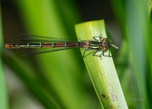 A female Emerald damselfly feasting on a small midge-like fly