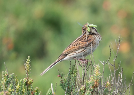 A Skylark with a mouth full of caterpillars and a damselfly, an important source of food for this RSPB category red British bird