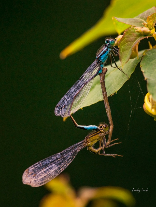 A pair of Blue-tailed damselflies mating bathed in a beautiful light.