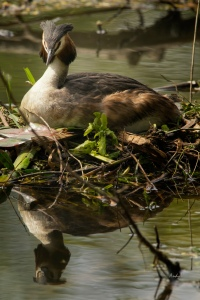A Great Crested Grebe on the nest. Both parents take part in parental duties.