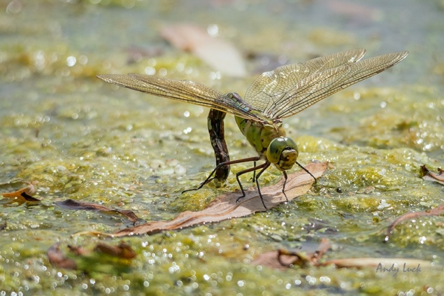 A female dragonfly photographed last year 'ovipositing' her eggs into pond weed.