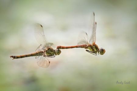 Migrant Hawker dragonflies in tandem