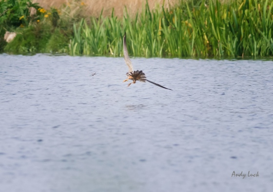 A Hobby, Falco subbuteo, closing in on a pair of dragonfly. Nikon D800
