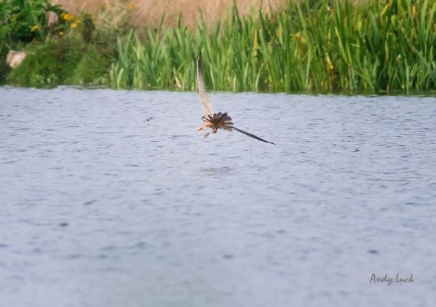 A Hobby, Falco subbuteo, closing in on a pair of dragonfly. Nikon D800