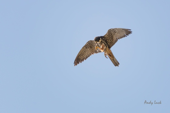 A Hobby feeding on a dragonfly, an important source of nourishment for these beautiful falcons.
