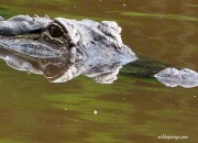 American Alligator watching the photographers. Trinity River, Texas.