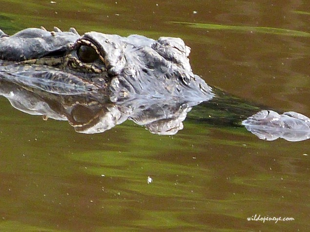 American Alligator watching the photographers. Trinity River, Texas. Taken on Panasonic Lumix FZ48