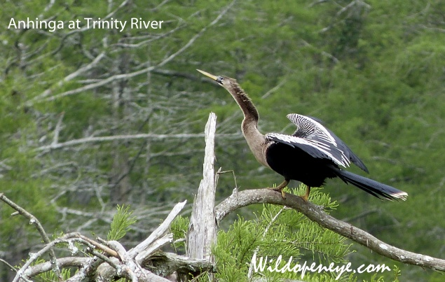 Anhinga at Trinity River, also known as a 'snake bird'. Taken with Panasonic Lumix FZ48