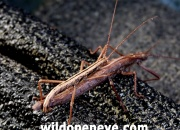 Rare view of Stick Insects mating on shade fabric, Farmerville, Louisiana, USA.