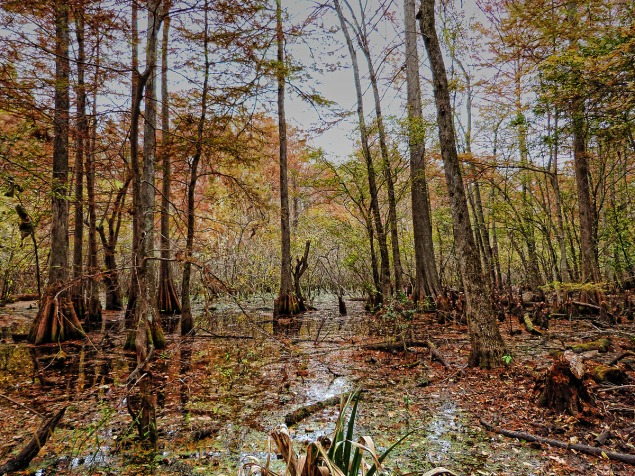 Amongst the glorious wild fowl habitat the Tensas River NWR runs a Wood Duck Conservation Programme. The Park is on a major migration fly-way.
