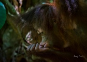 Orangutan in Sabah, Malaysia. photo and coypright Andy Luck