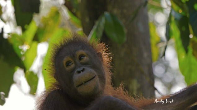 Orangutan, Sabah, Borneo. Photo and copyright Andy Luck
