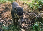 A Visayan Warty Pig (Sus cebifrons negrinus) mother and piglet protected by PRRCF on Negros Island in The Philippine Islands.