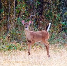 White-tailed Deer Fawn raising its tail in characteristic 'salute' as it prepares to run.