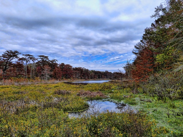 Blaze of Autumn sunflowers on the lake at Tensas River National Wildlife Refuge