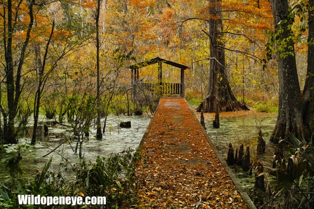 The Wood Duck Conservation Programme at Tensas NWR has protected nest boxes and a viewing pier amongst prime habitat.