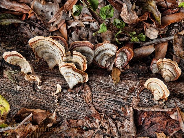 Turkey Tail fungus at Tensas NWR