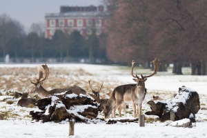 Deer at Hampton Court