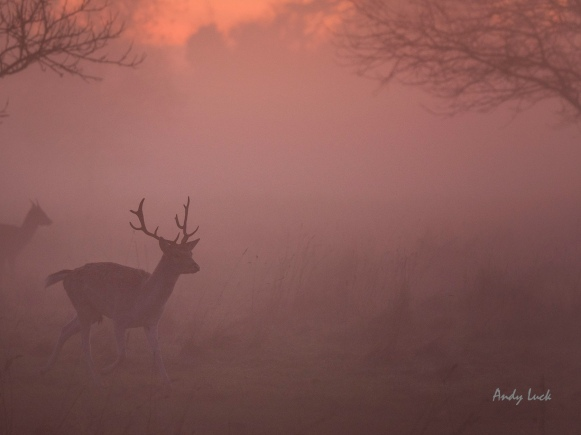 Deer in sunset mist at Bushy Park