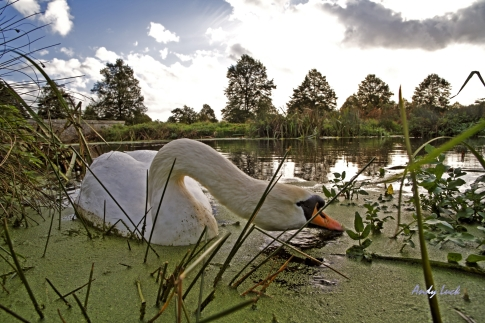 A graceful swan, Andy Luck Photo and copyright
