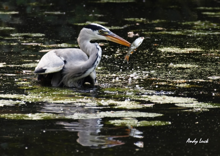 London's wildlife habitat offers rich opportunities for encounters such as this heron catching his breakfast. Photo and copyright Andy Luck.