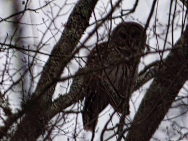 Barred Owl in very low light, late dusk taken with landscape scene setting it allowed focus through the twigs. K. Paxton photo and copyright.
