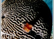 Bleached Brain Coral, Hol Chan Reserve, Belize. Carbon dioxide has been linked to higher temperatures that can kill marine coral through 'bleaching'. Bleached Brain Coral, Hol Chan Reserve, Belize. C.Paxton photo and copyright.